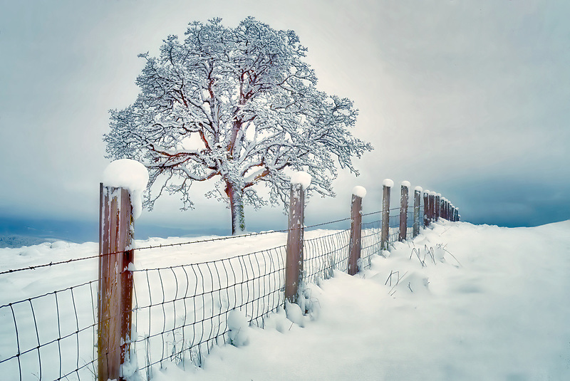 Snow covered oak and fence near Bellfountaim, Oregon