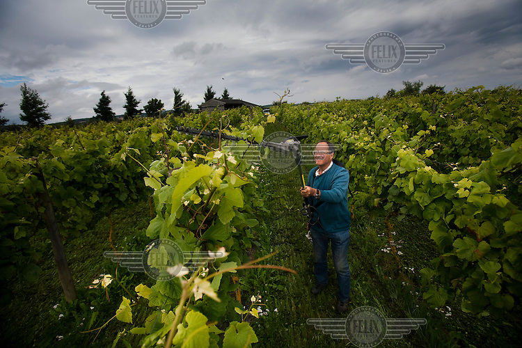 Organic winemaker (vintner), Alan Chubb, trims the vines at Quoins Vineyard in Bradford-on-Avon.