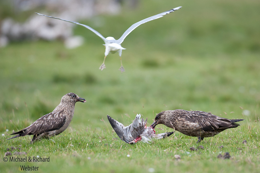 Top predators,  two Great Skuas killing a Common Gull chick
