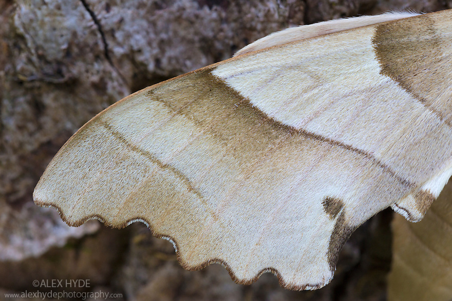 Wing detail of Oak Hawkmoth {Marumba quercus}. Captive, native to Europe and North Africa.