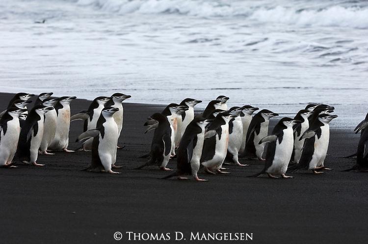 Chinstrap penguins walk along a Deception Island beach, Antarctic Peninsula.