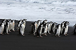 Chinstrap penguins walk along a Deception Island beach, Antarctic Peninsula.