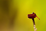 Dragonfly (Neurothemis terminata), Danum Valley Conservation Area, Sabah, Borneo, Malaysia