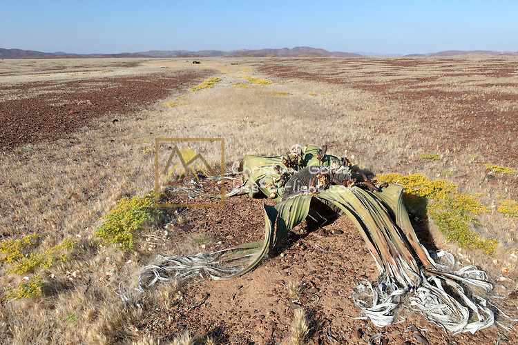 Welwitschia (Welwitschia mirabilis) plants survive near the Messum crater in former Damaraland in central Namibia. A female plant  is seen in the forground. Plants follow the shallow depression due to its water-collecting.