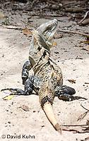 0626-1109  Black Spiny-tailed Iguana (Black Iguana, Black Ctenosaur), On Half-moon Caye in Belize, Ctenosaura similis  © David Kuhn/Dwight Kuhn Photography