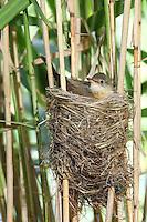 Drosselrohrsänger, Nest im Schilf mit Küken, Drossel-Rohrsänger, Rohrsänger, Acrocephalus arundinaceus, Great Reed Warbler