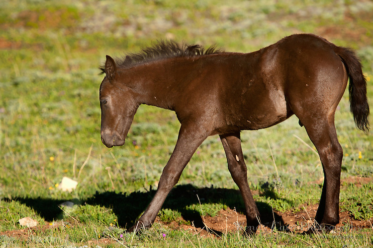 Bay colt looking for his lunch, Pryor Mountains, Wyoming