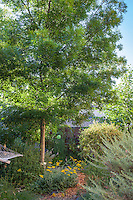 Fraxinus oxycarpa 'Raywood', Raywood ash tree in Sibley drought tolerant back yard garden, Richmond California