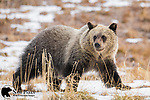 Grizzly bear cub. Bridger-Teton National Forest, Wyoming.