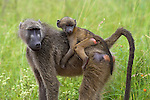 Young chacma baboon, Papio cynocephalus ursinus, riding on adult's back, Kruger National Park, Mpumalanga, South Africa