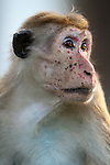 The toque macaque is also known as the red faced macaque. Females in particular develop deep red faces but males, as here, also develop strong patterns across their faces. This is one of the key features researchers use in identifying individuals along with scars and their variable, and hereditary, Toque (a kind of hat) hair styles. Polonnaruwa, Sri Lanka. IUCN Red List Classification: Endangered
