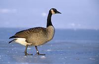 Kanadagans, beringter Vogel auf Eis, Kanada-Gans, Gans, Branta canadensis, Canada goose