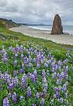 Cape Blanco State Park, Oregon<br /> Hillside of lupine and single seastack on the beach under stormy skies