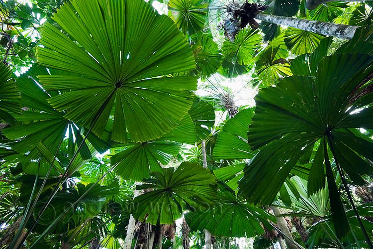 Licuala palm rainforest at Cape Tribulation, Daintree, Queensland, AUSTRALIA