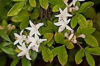 Albrechts Azalee, Albrecht´s Azalee, Rhododendron, Rhododendron albrechtii, Azalea albrechtii, Albrecht's Azalea, Albrechts Azalea