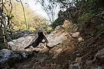 Honey Badger (Mellivora capensis) smelling air, Hawf Protected Area, Yemen