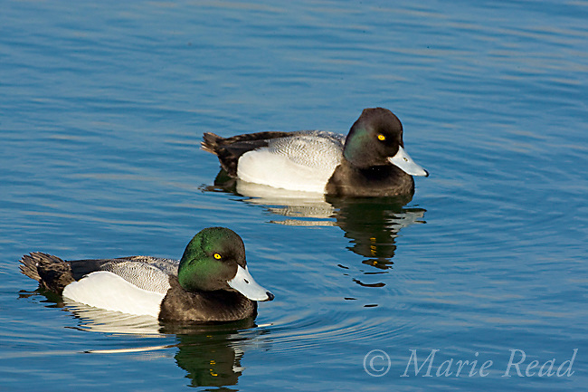 Greater Scaup (Aythya marila)(front) and Lesser Scaup (Aythya affinis) (back), males in breeding plumage, Bolsa Chica Ecological Reserve, California, USA