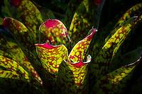 Backlit bromeliad. The Big Island, Hawaii.