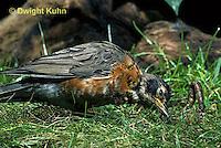RO07-024z   American Robin - young catching prey, a worm - Turdus migratorius