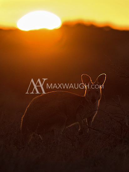 Common wallaroos, known locally as Euros, were often seen in the mornings and evenings in Cape Range.
