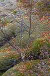 A downy birch (Betula pubescens) grows on a mossy hillside, Iceland  <br /> Iceland was once covered in birch forests, which were cut down when the Vikings settled the island. Birches were also tasty to the sheep and cattle the Vikings brought with them, so they were unable to regenerate. Since 1950 millions of seedlings have been planted in an effort to halt soil erosion.<br /> <br /> Canon EOS 5D Mark III, EF70-200mm f/2.8L IS II USM lens, f/18 for 1.3 seconds, ISO 100