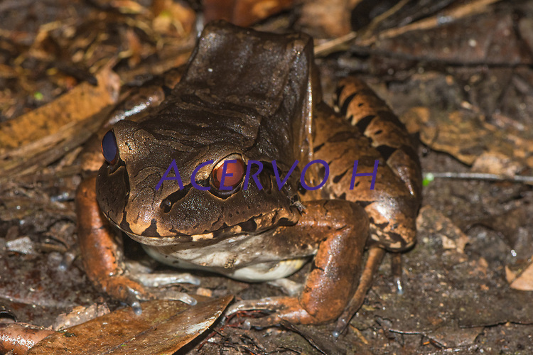 Leptodactylus pentadactylus (Laurenti, 1768)<br /> .<br /> .<br /> Imagem feita em 2017 durante expedição científica para a região do Lago Tefé, Tefé, Amazonas, Brasil. A expedição, financiada pelo  Conselho Nacional de Desenvolvimento Científico e Tecnológico, teve o abjetivo de reencontrar espécies de anfíbios descritas pelo explorador Johann Baptist von Spix no ano de 1824.