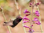 Hummingbird at Work
