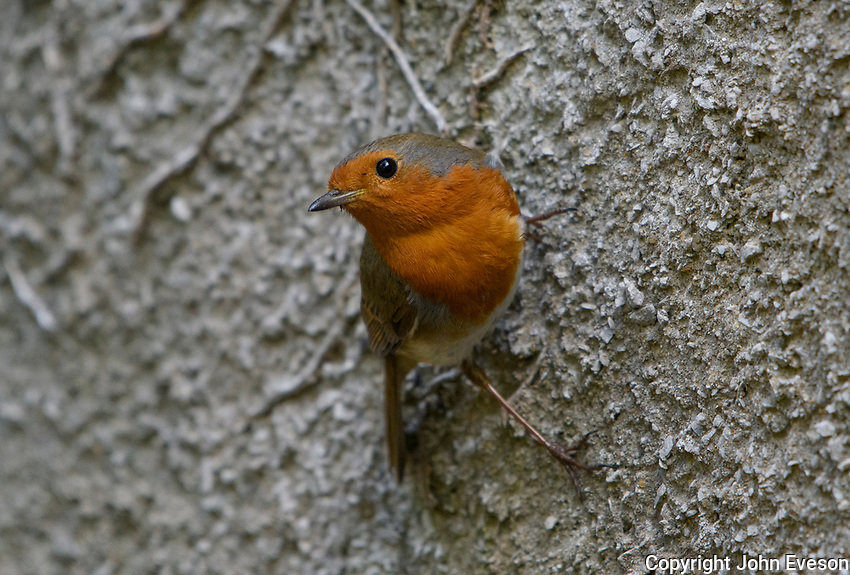 European Robin clinging to a wall, Chipping, Lancashire.