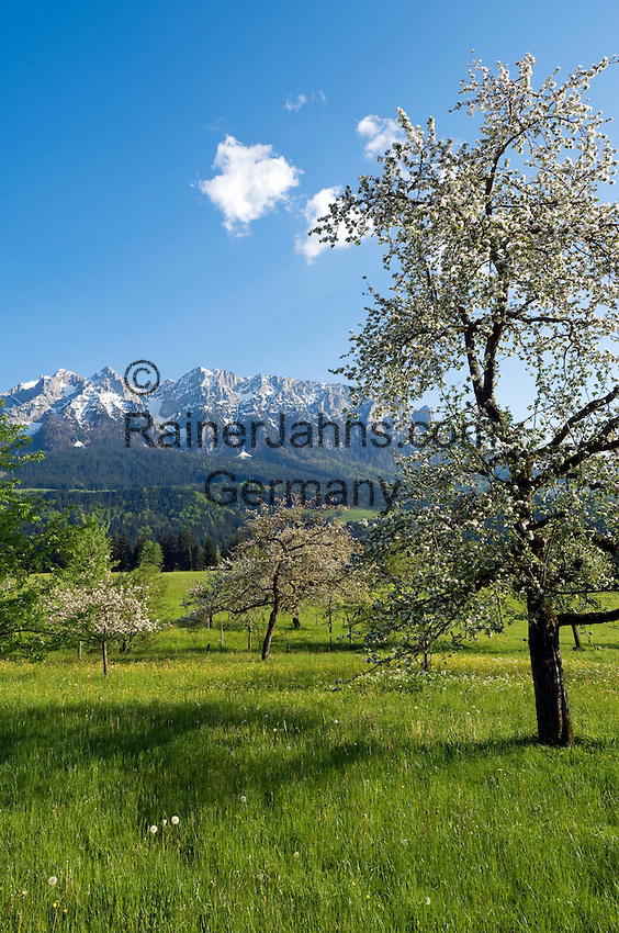 Austria, Tyrol, near Walchsee: orchard meadow, fruit tree blossom, springtime at Kaiserwinkl region with Kaiser mountains, Zahmer Kaiser mountain