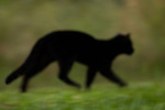 Geoffroy's Cat (Leopardus geoffroyi) melanistic female, Ibera Provincial Reserve, Ibera Wetlands, Argentina
