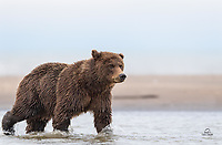 Coastal Brown Bear (Ursus arctos) keeps one eye on us, while the other tracks a salmon swimming across her field of view.  The chase was about to begin . . . thankfully she pursued the salmon.  The Cook Inlet, Lake Clark National Park, Alaska.