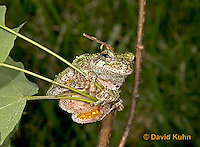 "0917-07qq  Gray Tree Frog - Hyla versicolor ""Virginia"" © David Kuhn/Dwight Kuhn Photography"
