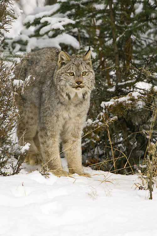 Canada Lynx standing at the edge of a snowy forest - CA