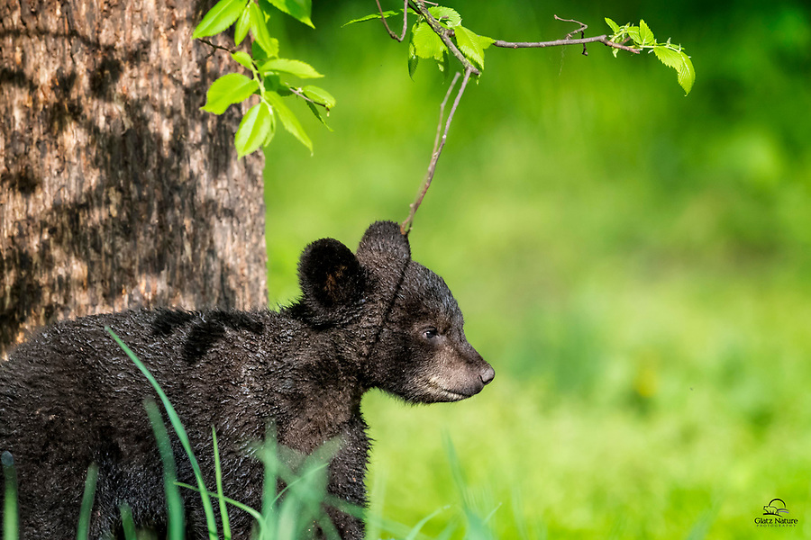 After sleeping high up in a tree, this soggy little Black Bear (Ursus americanus) cub descended quickly when its mother called. And seemed very happy to run off with mother to get its breakfast. Vince Shute Wildlife Sanctuary, Orr, Minnesota.