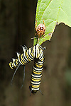 Predacious stink bug, pentatomidae, with monarch caterpillar prey