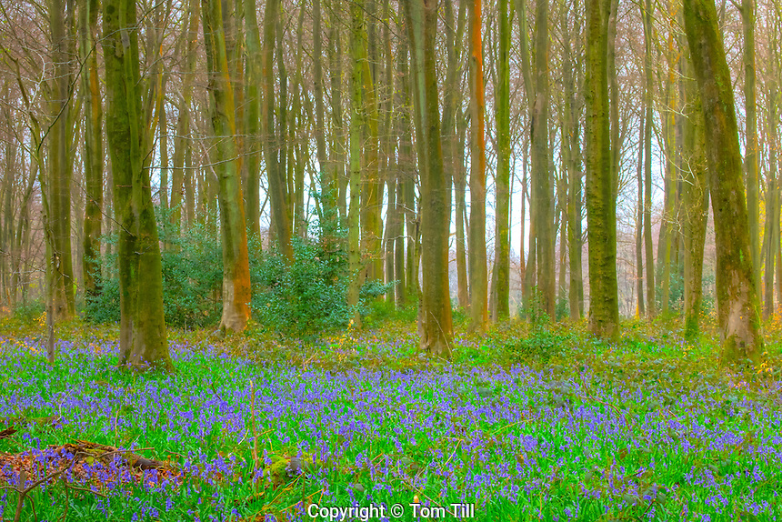 English bluebells, Micheldever Wood, Hampshre, England, United Kingdome  hyacinthoides non-scripta  UK Forestry site