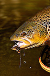 Handheld brown trout