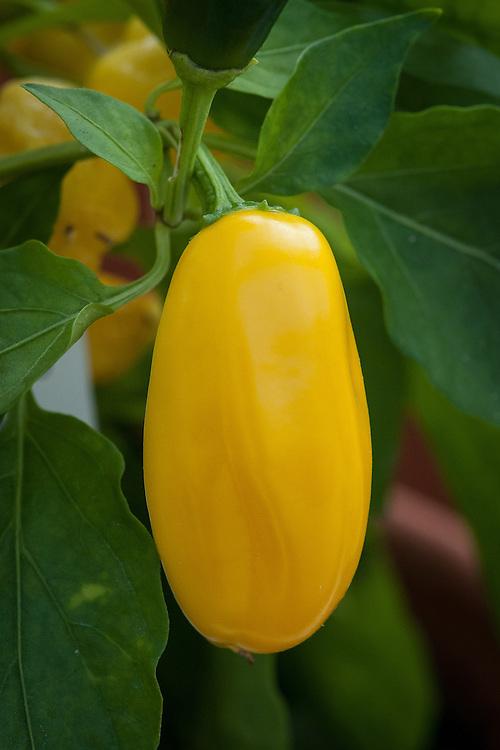Sweet pepper 'Lemon Dream', glasshouse, late September.