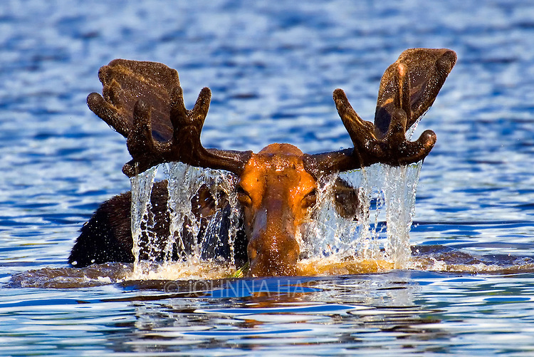 Male moose eat pond vegetation to grow large antlers as seen with the velvet antlers growing in early summer on Russell Pond in Baxter State Park Maine. This moose is caught with it's eyes closed and water streaming off the antlers into the blue water.