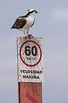 Guerroro Negro, Baja California Sur, Mexico; an osprey feeding on a fish on top of a Mexican speed limit sign