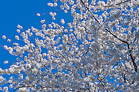 Spring, District of Columbia, Memorial Parks, National Mall, Tidal Basin, Sakura, Cherry Blossoms, trees, Washington DC
