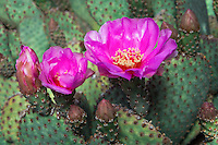 Beavertail Cactus (Opuntia basilaris).  Mojave Desert, California.  March.