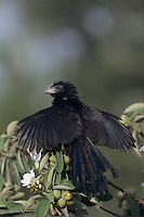 Groove-billed Ani, Crotophaga sulcirostris, adult sunbathing on Mexican Olive Tree, The Inn at Chachalaca Bend, Cameron County, Rio Grande Valley, Texas, USA, May 2004