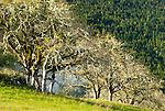California black oaks, Redwood National Park