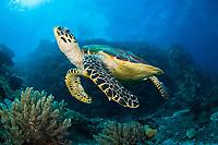 Hawksbill Sea Turtle (Eretmochelys imbricata) in Komodo Island, Indonesia,