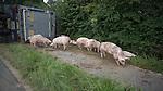 20140805 Unfall - Schweinelaster mit 110 Mastschweinen verünglückt