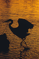 Silhouette of duck and Great Blue Heron (ardea herodias) taking flight from Lost Lagoon at sunset, Stanley Park, Vancouver, BC.