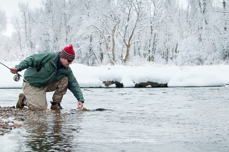 A fly fisherman releases a brown trout during a winter day on the South Fork of the Snake River, Idaho.