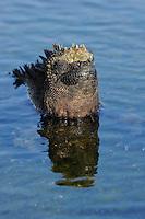 Marine Iguana (Amblyrhynchus cristatus), Rábida island, Galapagos, Ecuador.