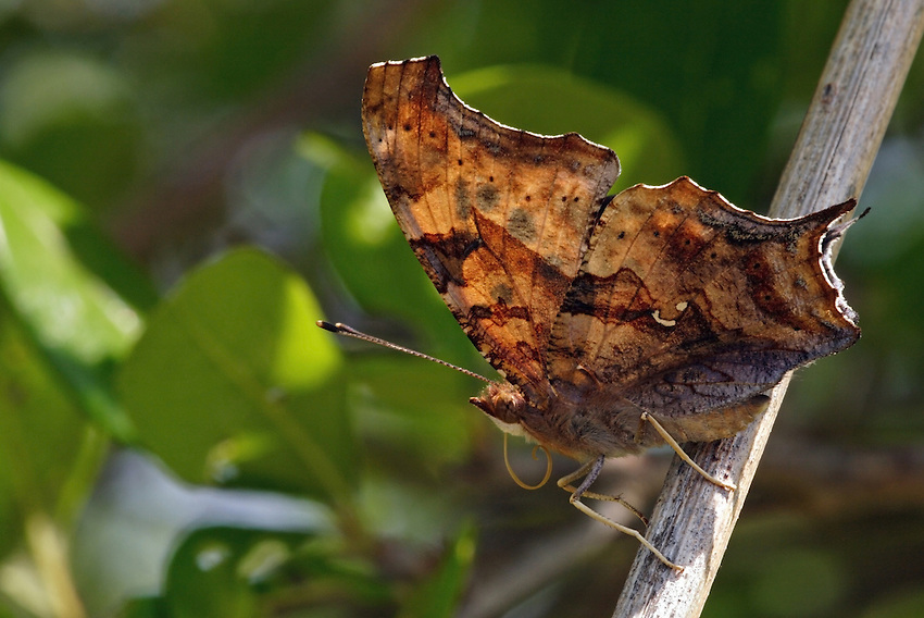 Like the other anglewings, the Comma is wary. It darts rapidly and frequently at other butterflies, birds, and people.